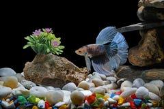 Ψάρια πάλης, σιαμέζα ψάρια, σε μια δεξαμενή ψαριών που διακοσμείται με τα χαλίκια και τα δέντρα, μαύρο υπόβαθρο στοκ φωτογραφίες