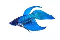 ψάρια πάλης σιαμέζα Στοκ φωτογραφίες με δικαίωμα ελεύθερης χρήσης