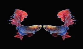Ψάρια πάλης, όμορφα ψάρια, όμορφα ψάρια Σιάμ, μαύρο υπόβαθρο πάλης χρώματος Στοκ Φωτογραφίες