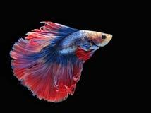 Ψάρια πάλης, όμορφα ψάρια, όμορφα ψάρια Σιάμ, μαύρο υπόβαθρο πάλης χρώματος Στοκ Εικόνες