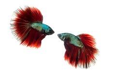 ψάρια πάλης σιαμέζα Στοκ φωτογραφία με δικαίωμα ελεύθερης χρήσης