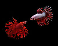 ψάρια πάλης σιαμέζα Στοκ Εικόνα