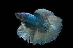 ψάρια πάλης σιαμέζα Στοκ Φωτογραφίες