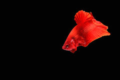 ψάρια πάλης σιαμέζα στοκ εικόνες