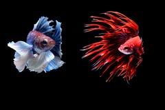 ψάρια πάλης σιαμέζα στοκ εικόνες με δικαίωμα ελεύθερης χρήσης