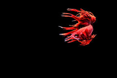 ψάρια πάλης σιαμέζα στοκ φωτογραφία