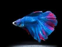 Ψάρια πάλης του Σιάμ στο Μαύρο, ψάρια betta Στοκ Εικόνα