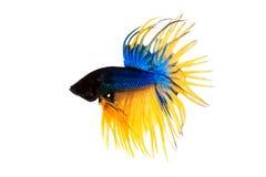 ψάρια πάλης Στοκ Εικόνα