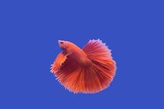 ψάρια πάλης Στοκ Εικόνες