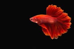ψάρια πάλης Στοκ εικόνες με δικαίωμα ελεύθερης χρήσης
