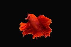 ψάρια πάλης Στοκ εικόνα με δικαίωμα ελεύθερης χρήσης