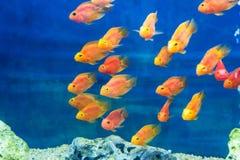 Ψάρια παπαγάλων ενυδρείων Στοκ εικόνα με δικαίωμα ελεύθερης χρήσης