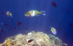 Ψάρια παπαγάλων στοκ φωτογραφίες