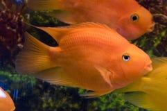 Ψάρια παπαγάλων Στοκ εικόνα με δικαίωμα ελεύθερης χρήσης