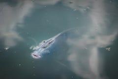 ψάρια πεινασμένα Στοκ Φωτογραφία