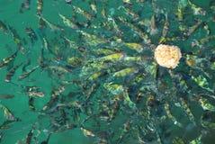 ψάρια πεινασμένα Στοκ Εικόνα
