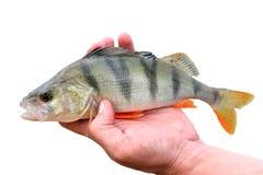Ψάρια περκών Στοκ εικόνες με δικαίωμα ελεύθερης χρήσης