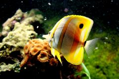 Ψάρια πεταλούδων στοκ εικόνα