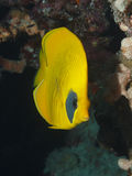 Ψάρια πεταλούδων μεταξύ των κοραλλιών Στοκ φωτογραφίες με δικαίωμα ελεύθερης χρήσης