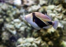 Ψάρια Πικάσο Triggerfish ορθογώνιο Στοκ φωτογραφία με δικαίωμα ελεύθερης χρήσης