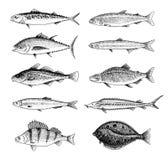 Ψάρια ποταμών Πέρκα ή πέρκες, θαλασσινά για τις επιλογές Scomber ή σκουμπρί, Beluga και οξύρρυγχος, λίμνη Πλάσματα θάλασσας διανυσματική απεικόνιση