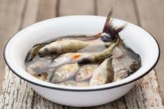 Ψάρια ποταμών σε μια άσπρη λεκάνη με το νερό Στοκ Εικόνες