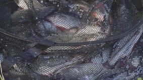 Ψάρια ποταμών στο κλουβί απόθεμα βίντεο