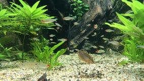 Ψάρια που κολυμπούν στο νερό που ψάχνει για τα τρόφιμα απόθεμα βίντεο
