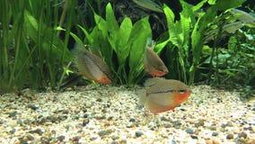 Ψάρια που κολυμπούν στο νερό που ψάχνει για τα τρόφιμα φιλμ μικρού μήκους