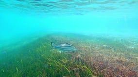 Ψάρια που κολυμπούν στα ρηχά νερά απόθεμα βίντεο