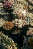 Ψάρια που κρύβονται μεγάλα στο σκόπελο. Στοκ φωτογραφίες με δικαίωμα ελεύθερης χρήσης