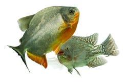 Ψάρια που παλεύουν στο ενυδρείο στούντιο Στοκ Εικόνες