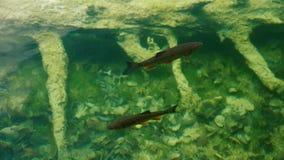 Ψάρια που σε ένα κρύσταλλο - καθαρίστε το νερό απόθεμα βίντεο