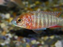 Ψάρια πυρκαγιάς Aulonocara Στοκ Φωτογραφίες