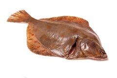 Ψάρια πλατεσσών που απομονώνονται σε ένα άσπρο υπόβαθρο στούντιο Στοκ φωτογραφίες με δικαίωμα ελεύθερης χρήσης