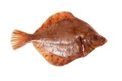 Ψάρια πλατεσσών που απομονώνονται σε ένα άσπρο υπόβαθρο στούντιο Στοκ Φωτογραφία