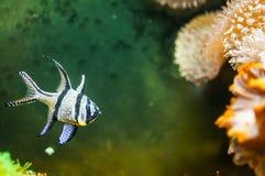 ψάρια ριγωτά Στοκ φωτογραφίες με δικαίωμα ελεύθερης χρήσης
