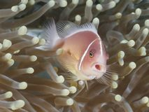 Ψάρια ρόδινο Anemonefish κοραλλιών Στοκ Φωτογραφία