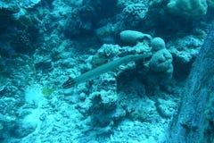 Ψάρια σαλπίγγων - σκάφανδρο που βουτά σε Similan στοκ φωτογραφία με δικαίωμα ελεύθερης χρήσης