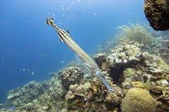 Ψάρια σαλπίγγων στην κοραλλιογενή ύφαλο Καραϊβικές Θάλασσες Στοκ Φωτογραφίες