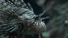 Ψάρια σε ένα ενυδρείο Πορφυρά ψάρια σε ένα ενυδρείο Ψάρια λιονταριών απόθεμα βίντεο