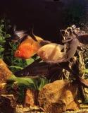 Ψάρια σε ένα ενυδρείο στοκ φωτογραφία με δικαίωμα ελεύθερης χρήσης