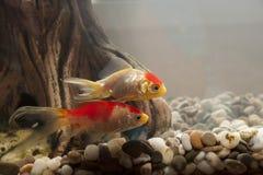 Ψάρια σε ένα ενυδρείο Στοκ εικόνα με δικαίωμα ελεύθερης χρήσης