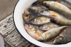 Ψάρια σε μια άσπρη λεκάνη με το νερό Στοκ εικόνες με δικαίωμα ελεύθερης χρήσης