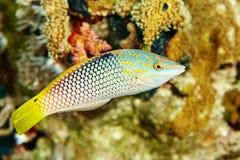 Ψάρια σκοπέλων κάτω από το νερό Στοκ φωτογραφία με δικαίωμα ελεύθερης χρήσης