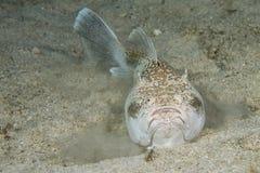 Ψάρια σκορπιών ιερέων Stargazer στοκ φωτογραφία