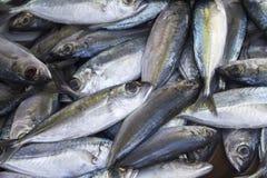 Ψάρια σκουμπριών στην αγορά θαλασσινών Τα φρέσκα ψάρια θάλασσας για πωλούν Λαμπρή θάλασσας ψαριών φωτογραφία άποψης σωρών τοπ Στοκ φωτογραφία με δικαίωμα ελεύθερης χρήσης