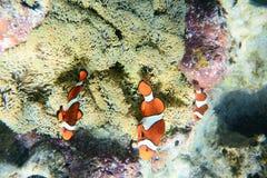 Ψάρια στα κοράλλια Στοκ Εικόνα