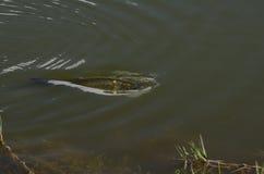 Ψάρια στη λίμνη Στοκ Εικόνες