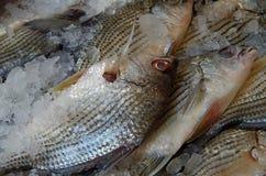 Ψάρια στον πάγο Στοκ εικόνα με δικαίωμα ελεύθερης χρήσης